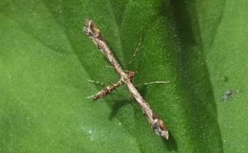 Amblyptilia acanthadactyla (On geranium) Copyright: Peter Pearson