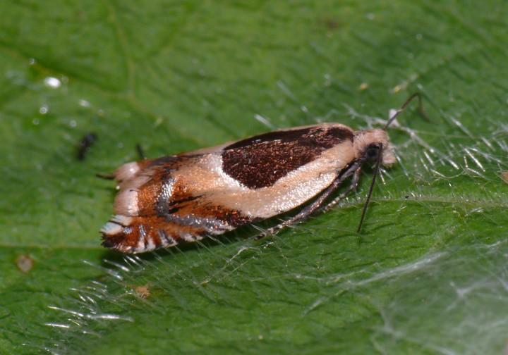 Ancylis badiana Copyright: Peter Furze