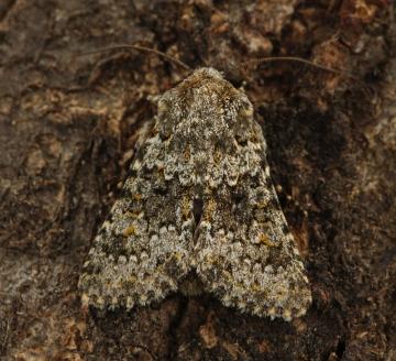 Small Ranunculus 6 Copyright: Graham Ekins