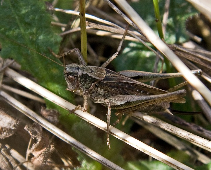 Platycleis albopunctata  (Grey Bush Cricket) Copyright: Graham Ekins