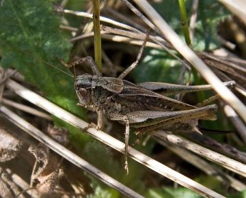 Platycleis albopunctata  (Grey Bush Cricket) Copyright: Graham Ekins