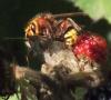 Hornet stinging Speckled Wood Copyright: Robert Smith