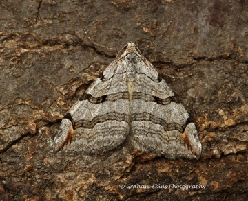 Treble-bar  Aplocera plagiata Copyright: Graham Ekins