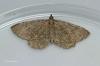 Philereme vetulata  Brown Scallop 1 Copyright: Graham Ekins