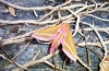 Elephant Hawk Moth Copyright: Graham Smith