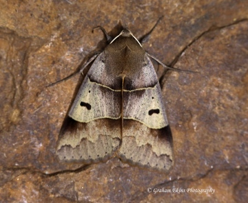 Lunar Double-stripe  Minucia lunaris Copyright: Graham Ekins