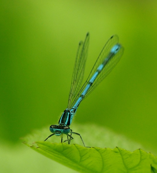 Common Blue Damselfly - 19th June 2013 Copyright: Ian Rowing