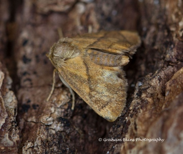 Festoon   Apoda limacodes 2 Copyright: Graham Ekins
