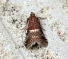 Acrobasis marmorea 2 Copyright: Ben Sale