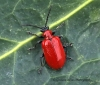 Lilioceris lilii  (Scarlet Lily Beetle) Copyright: Graham Ekins