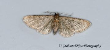 Haworth's Pug  Eupithecia haworthiata 4 Copyright: Graham Ekins