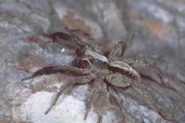 Alopecosa barbipes
