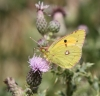 Clouded Yellow - 14th August 2013 Copyright: Colin Humphrey
