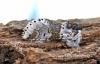 Furcula furcula  Sallow Kitten 4 Copyright: Graham Ekins
