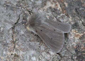 Muslin Moth  Diaphora mendica 2 Copyright: Graham Ekins