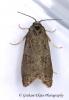 Cnephasia pumicana  GD  (Cereal Tortrix) Copyright: Graham Ekins