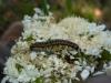 Depressaria daucella caterpillar Copyright: Peter Furze