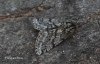 Brindled Beauty  Lycia hirtaria Copyright: Graham Ekins