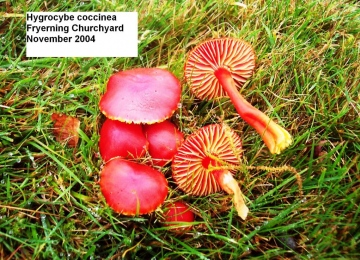 Hygrocybe coccinea Copyright: Graham Smith