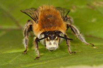 Anthophora quadrimaculata Copyright: Peter Harvey