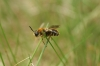 Stratiomys longicornis Copyright: Guillaume Lemoine
