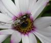 Scaeva selenetica female on Osteospermum Copyright: Roger Payne