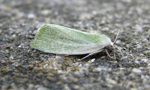 Cream Bordered Green Pea 2 Copyright: Stephen Rolls