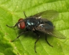 Protocalliphora azurea male 20150619-1855 Copyright: Phil Collins