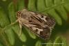 Antler  Cerapteryx graminis Copyright: Graham Ekins
