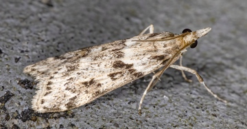 Eudonia angustea 15-09-2020 Copyright: Bill Crooks
