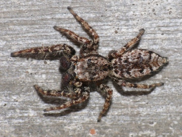 Jumping spider Marpissa muscosa top view Copyright: Peter Furze