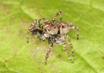 Sitticus pubescens Copyright: Peter Harvey