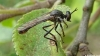 Robber Fly Copyright: Raymond Small