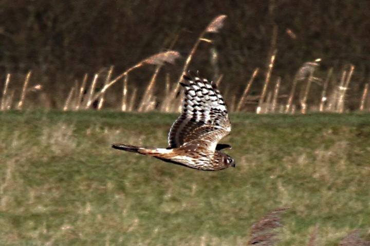 Hen Harrier 1 Copyright: Graham Smith