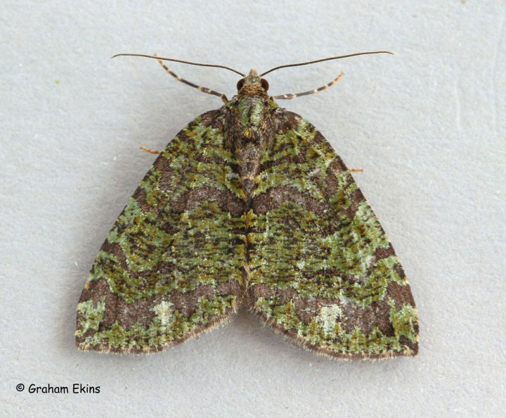 Hydriomena furcata  July Highflyer 1 Copyright: Graham Ekins
