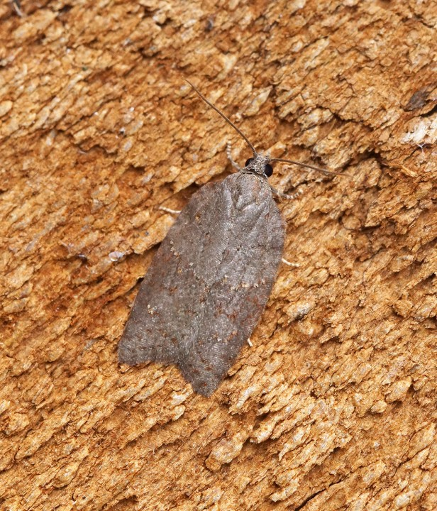 Acleris sparsana 3 Copyright: Ben Sale