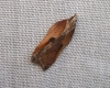 Acleris cristana 3 Copyright: Ben Sale