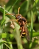 Nomada lathburiana Copyright: Robert Smith