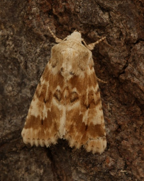 Dusky sallow 3 Copyright: Graham Ekins