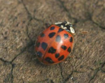 harlequin ladybird Copyright: Chris Gibson