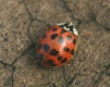 harlequin ladybird Copyright: Chris Gibson