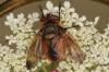 Phasia hemiptera male Copyright: Peter Harvey