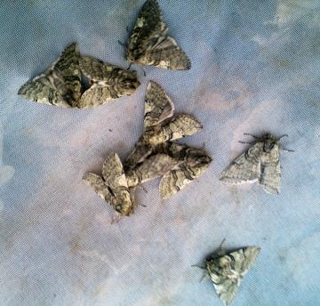 Yellow Horned moths Copyright: Ben Sale