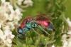 Chrysis viridula female 1 Copyright: Peter Harvey