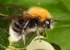 Bombus hypnorum male Copyright: Peter Harvey