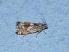 Grapholita jungiella. Copyright: Peter Furze