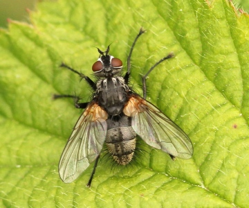 Pelatachina tibialis (male) Copyright: Jeremy Richardson