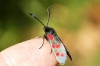 Six-spot Burnet 3 Copyright: Ben Sale