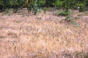 Littlebrook Lakes-drought stressed grassland Copyright: Peter Harvey