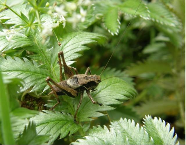 Pholidoptera griseoptera Copyright: Sue Grayston
